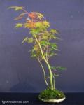 kokedama-palmatum-erables-3