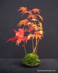 kokedama-palmatum-erables