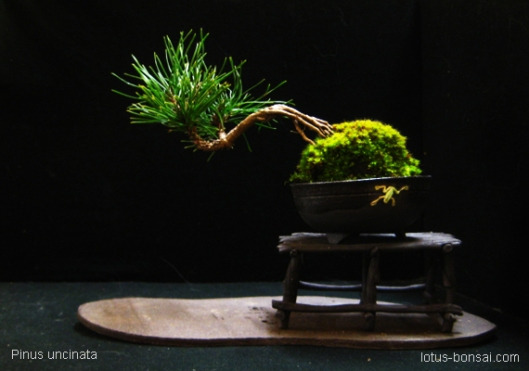 Pinus uncinata, 3 years old, pot 7x7x3cm