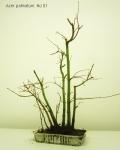 bonsai-acer-palmatum-No1A