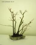 bonsai-acer-palmatum-No1B