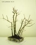 bonsai-acer-palmatum-No1C