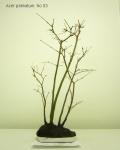 bonsai-acer-palmatum-No3A