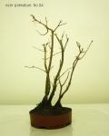 bonsai-acer-palmatum-No4C