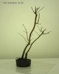bonsai-acer-palmatum-No6B