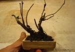 bonsai-mame-prunus--plantes