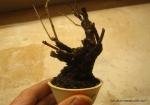 bonsai-mame-prunus-