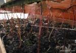 bonsai-semis-erable