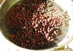 celtis-sinensis-semis-bonsai-seedlings-1