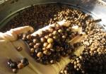 celtis-sinensis-semis-bonsai-seedlings-4