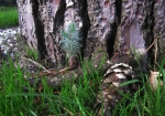 chalef-eleagnus-semis-bonsai-production