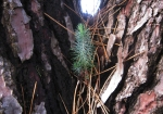 chalef-eleagnus-semis-bonsai