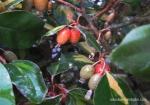 eleagnus-propagation-horticulture