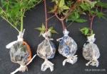 grafting-maple-bonsai