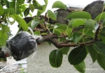 greffe-bonsai-erable