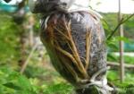 greffe-bonsai-prunus-mume