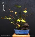 kokedama-jasmin-bonsai