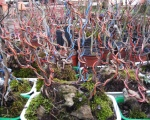 orme-de-chine-sur-rochers-bonsai