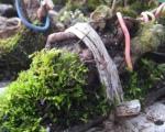 pin-sur-rocher-bonsai-giang