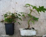 propagation-bonsai-maples