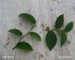 propagation-celtis-sinensis-bonsai-bouturage-micoucoulier-bonsai