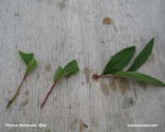 propagation-prunus-floribunda-bonsai-production