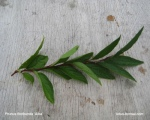 propagation-prunus-floribunda-bonsai