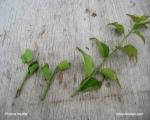 propagation-prunus-mume-bonsai-bouturage-apricot-japon-production