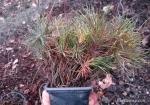 stratification-graine-bonsai-juniperus