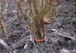 stratification-graine-bonsai-prunus