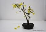 winter-jasmine-bonsai-2