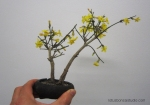winter-jasmine-bonsai-3