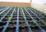 Juniperus-sienesis-bonsai-semis-seedlings-1