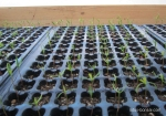 Juniperus-sienesis-bonsai-semis-seedlings-3