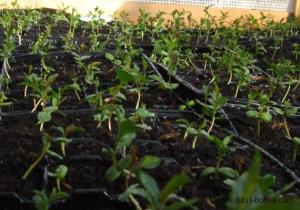 ccognassier-de-Chine-bonsai-jeunes-plants