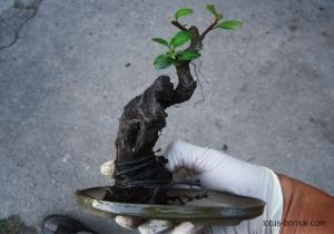 pyracantha-bonsai-lotus-studio-1