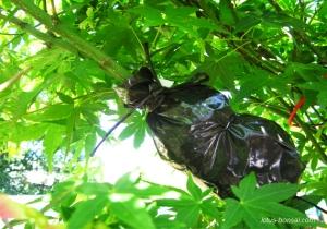 erable-bonsai-graines-marcottage