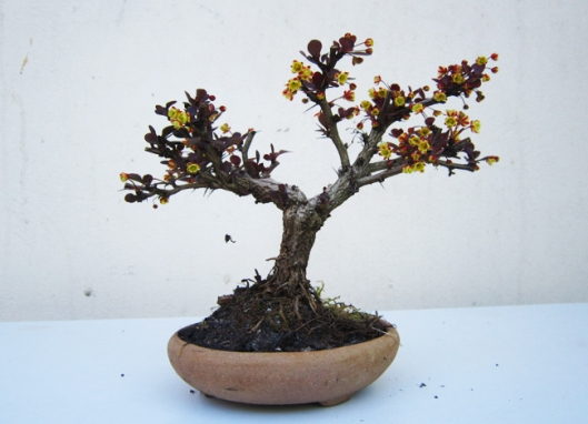 berberis-bonsai-technique-3