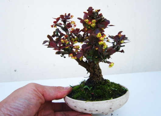berberis-bonsai-technique-5