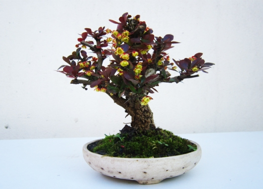 berberis-bonsai-technique